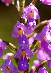 Brachycorythis pleistophylla subsp. pleistophylla