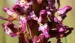 Brachycorythis tenuior
