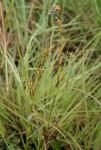 Neobolusia ciliata