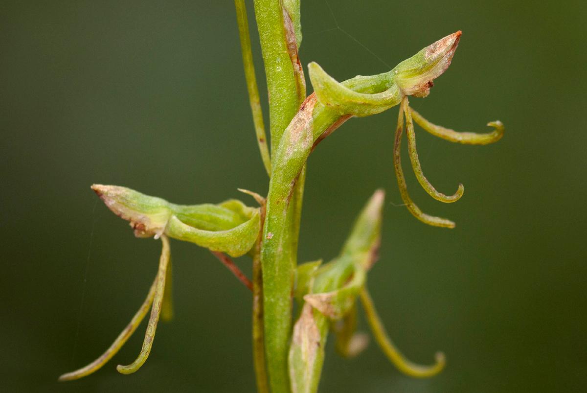 Habenaria filicornis