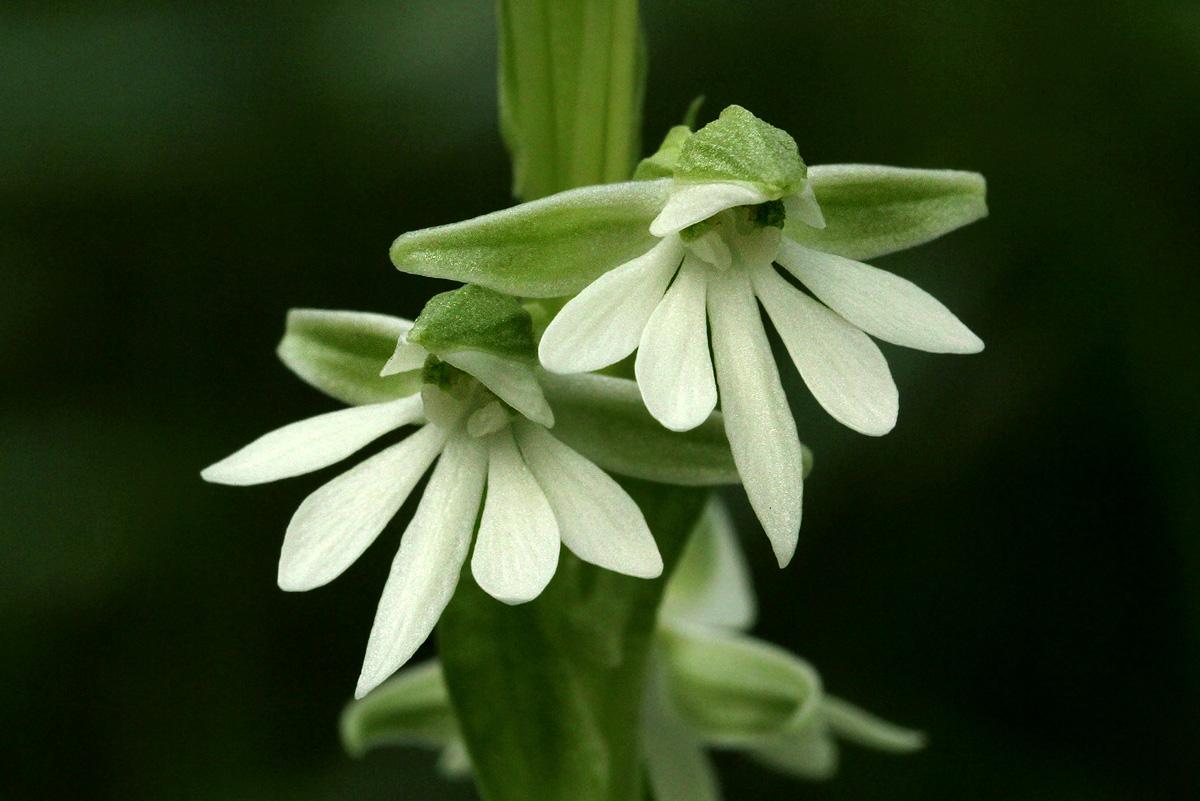 Habenaria galactantha