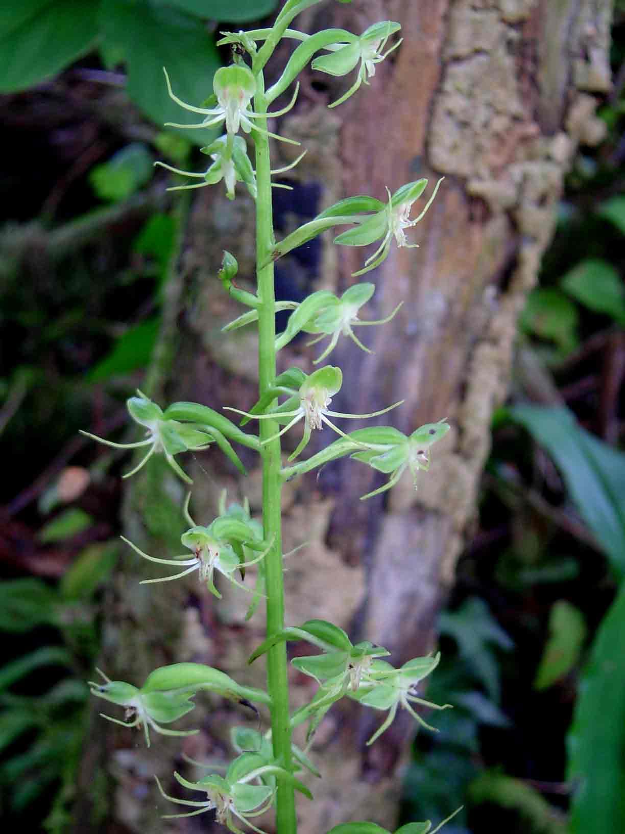 Habenaria malacophylla