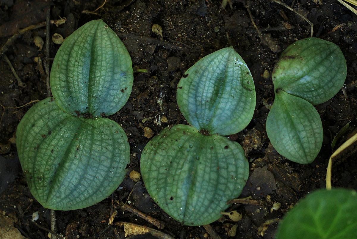 Habenaria trilobulata