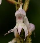 Disa aconitoides subsp. concinna