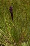 Disa hircicornis