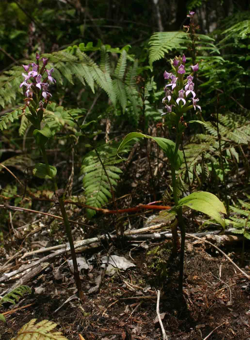Brownleea maculata