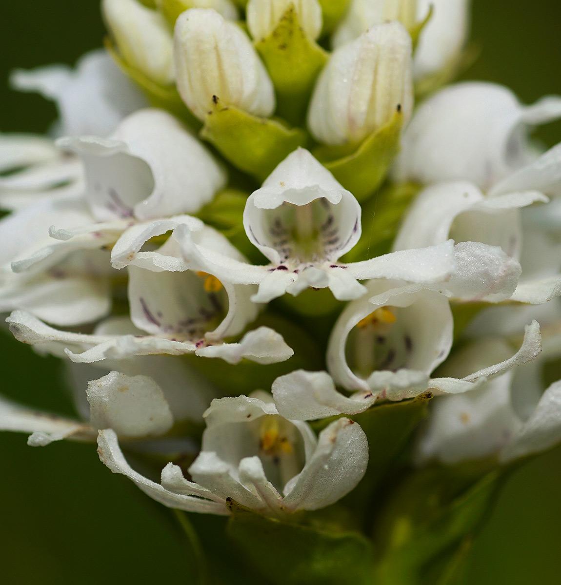 Satyrium paludosum