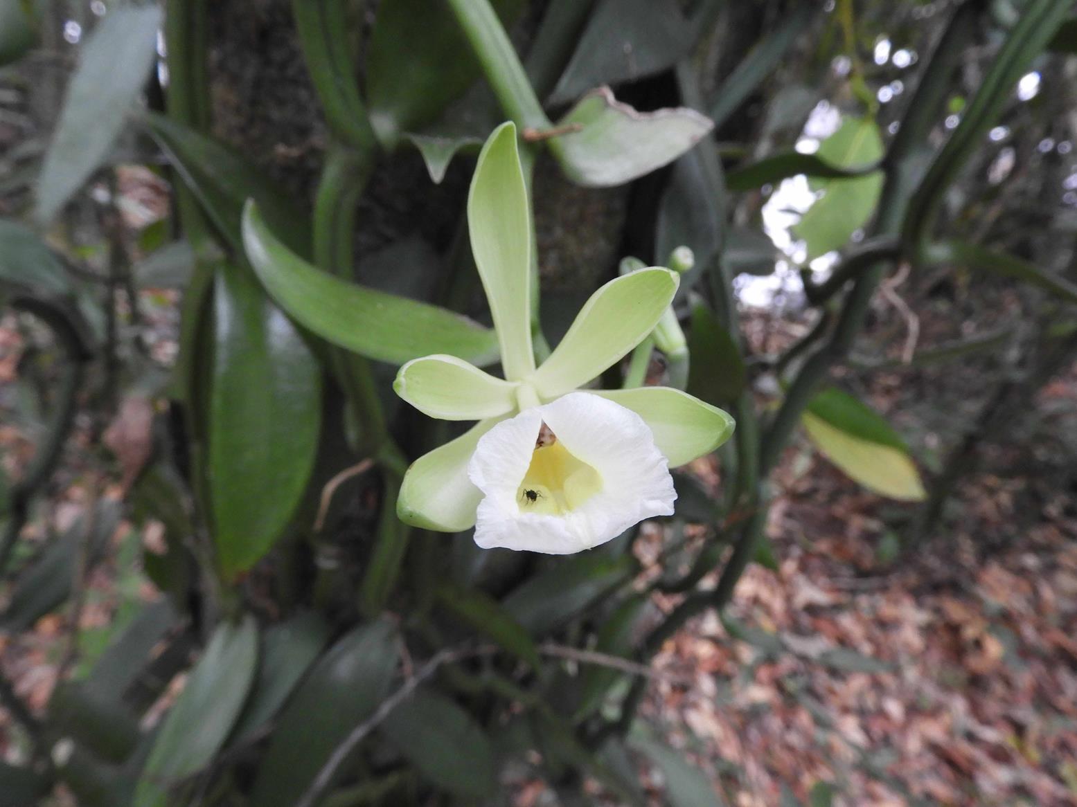 Vanilla polylepis