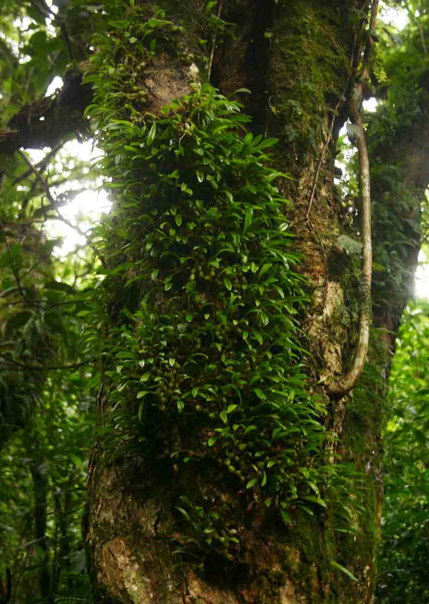 Stolzia compacta subsp. purpurata