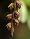 Bulbophyllum elliotii