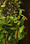 Bulbophyllum fuscum var. melinostachyum