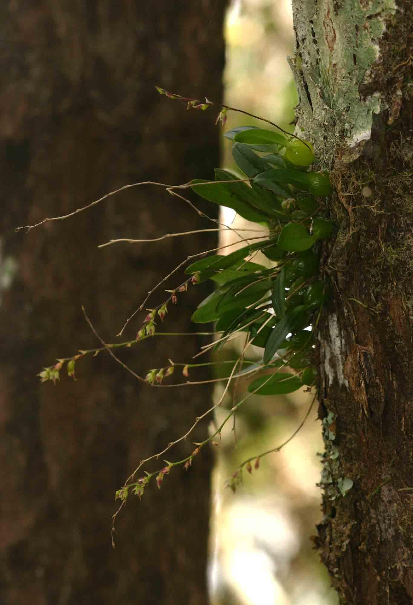 Bulbophyllum intertextum