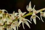 Bulbophyllum josephi
