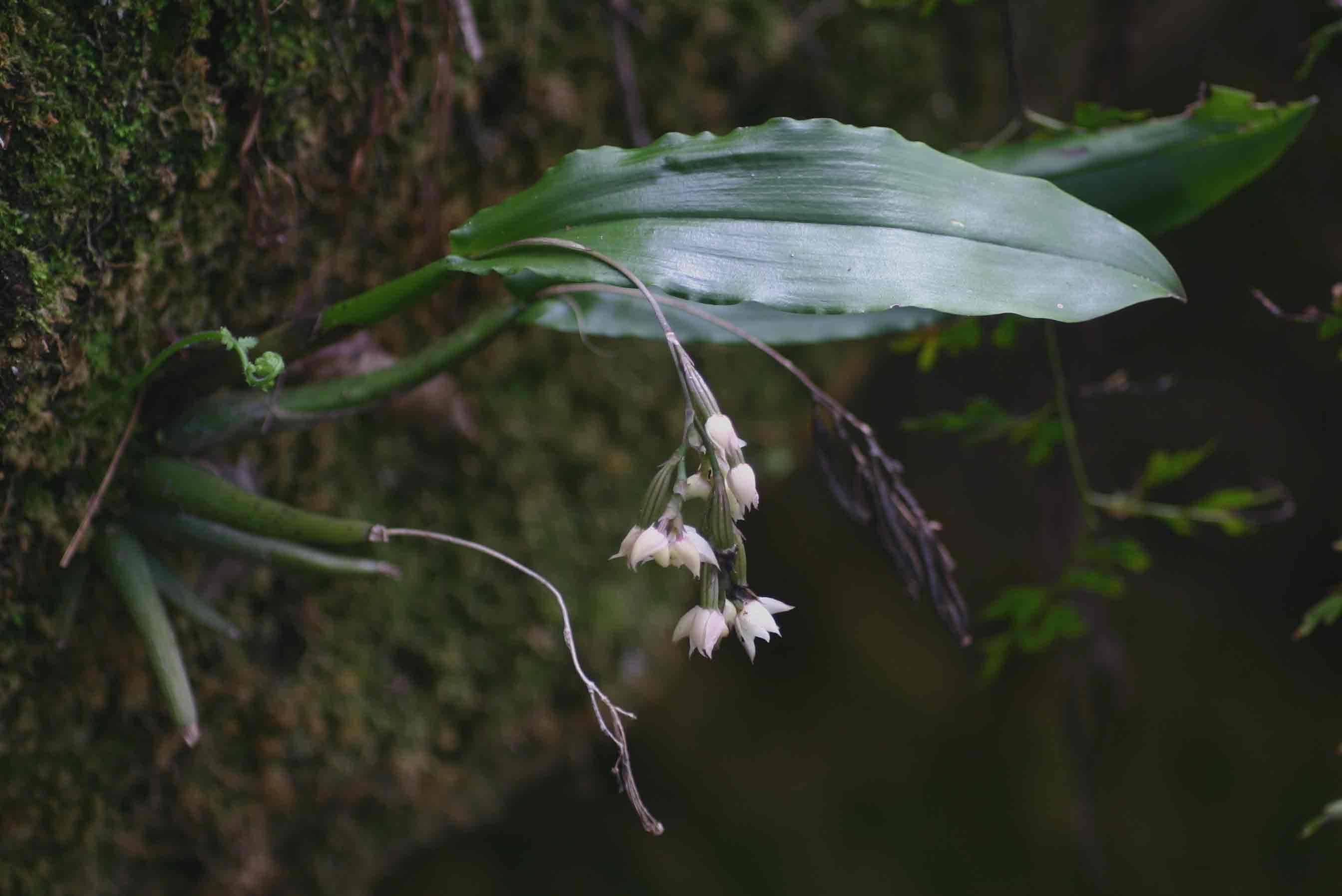 Polystachya cultriformis
