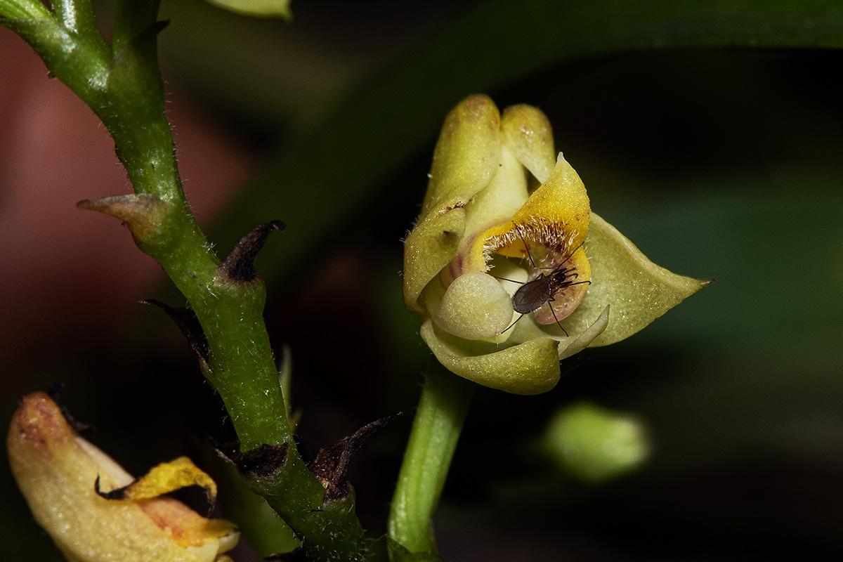 Polystachya transvaalensis