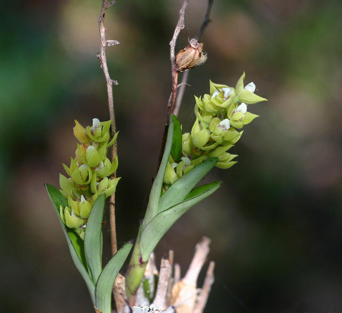 Polystachya zambesiaca
