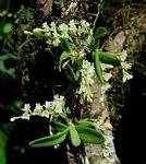 Angraecum chamaeanthus