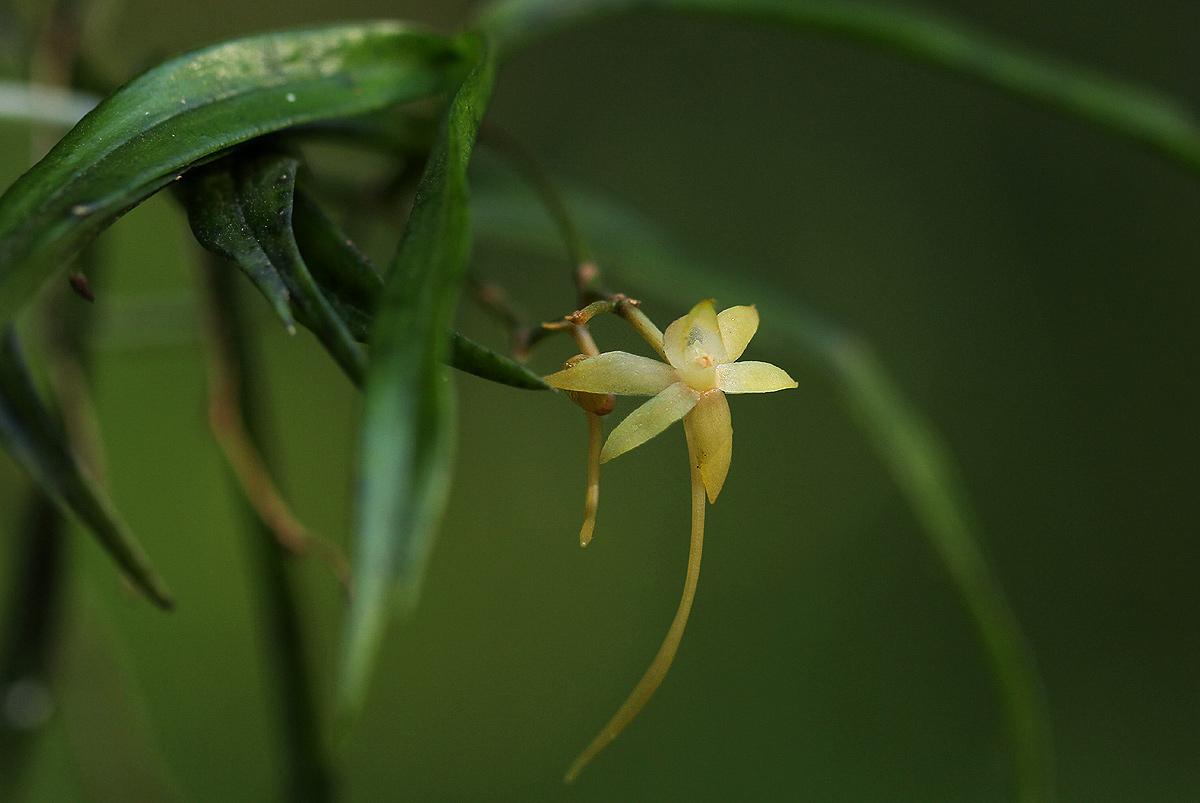 Angraecum cultriforme