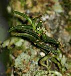 Angraecum humile