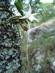 Angraecum stella-africae