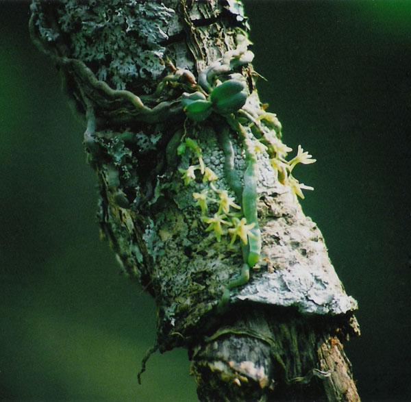 Angraecopsis amaniensis