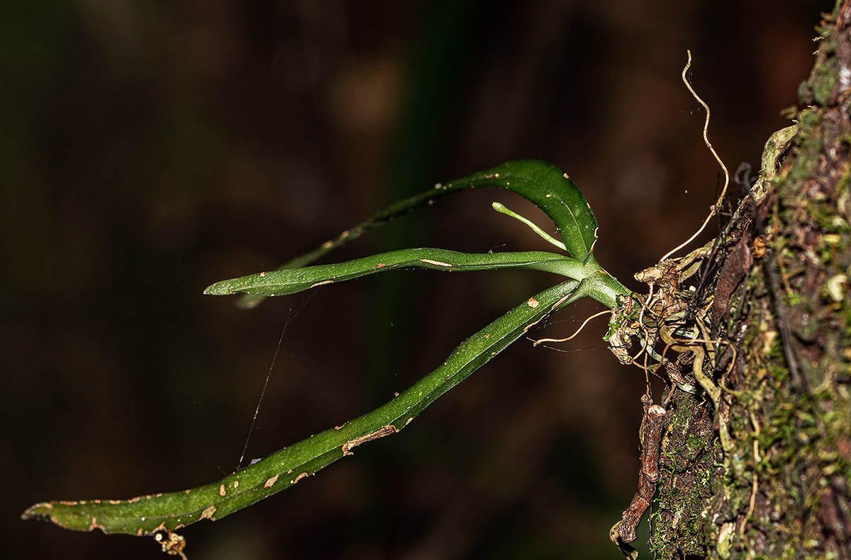 Angraecopsis parviflora