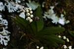 Bolusiella iridifolia subsp. picea