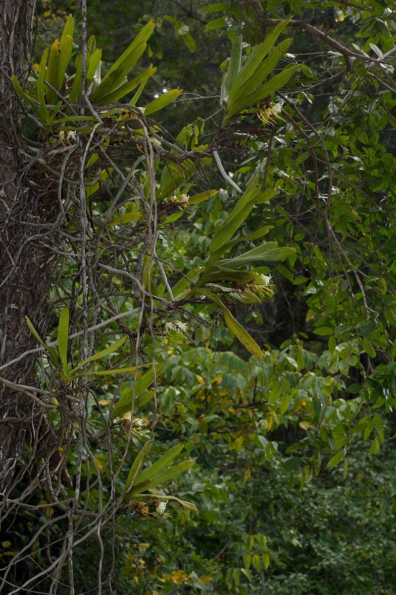 Cyrtorchis arcuata subsp. arcuata