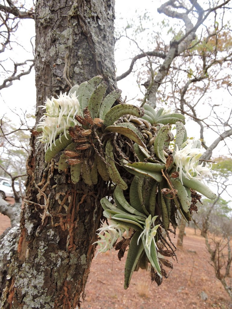 Cyrtorchis crassifolia