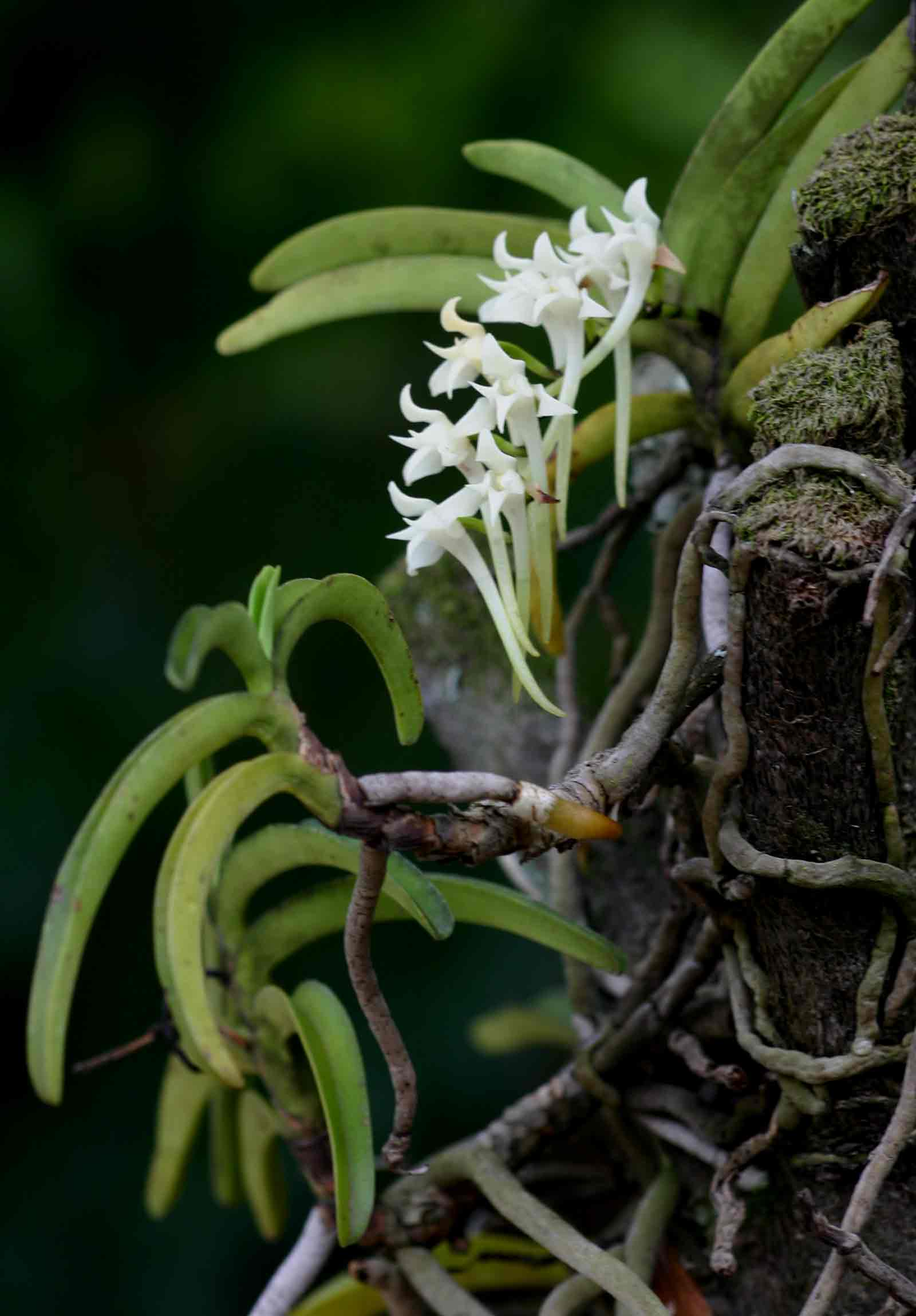 Cyrtorchis praetermissa subsp. praetermissa