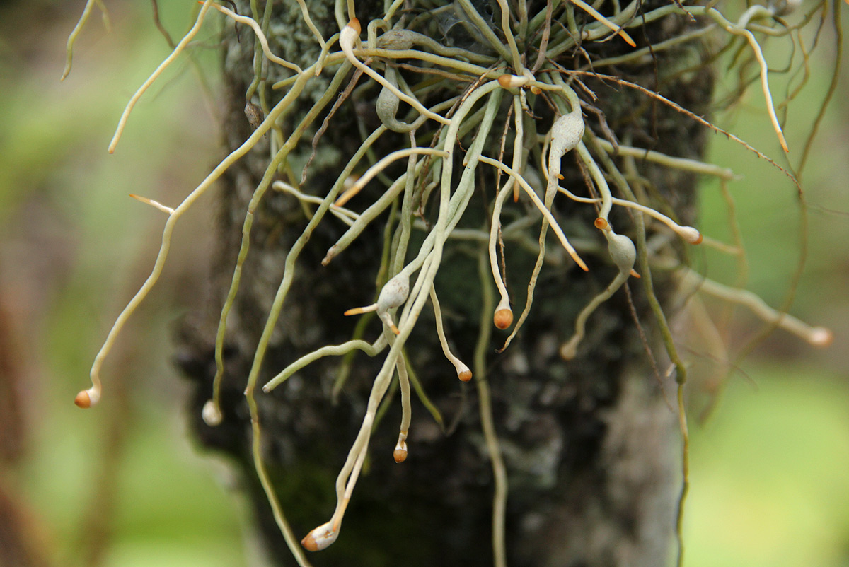 Microcoelia exilis