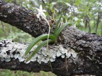 Rangaeris muscicola