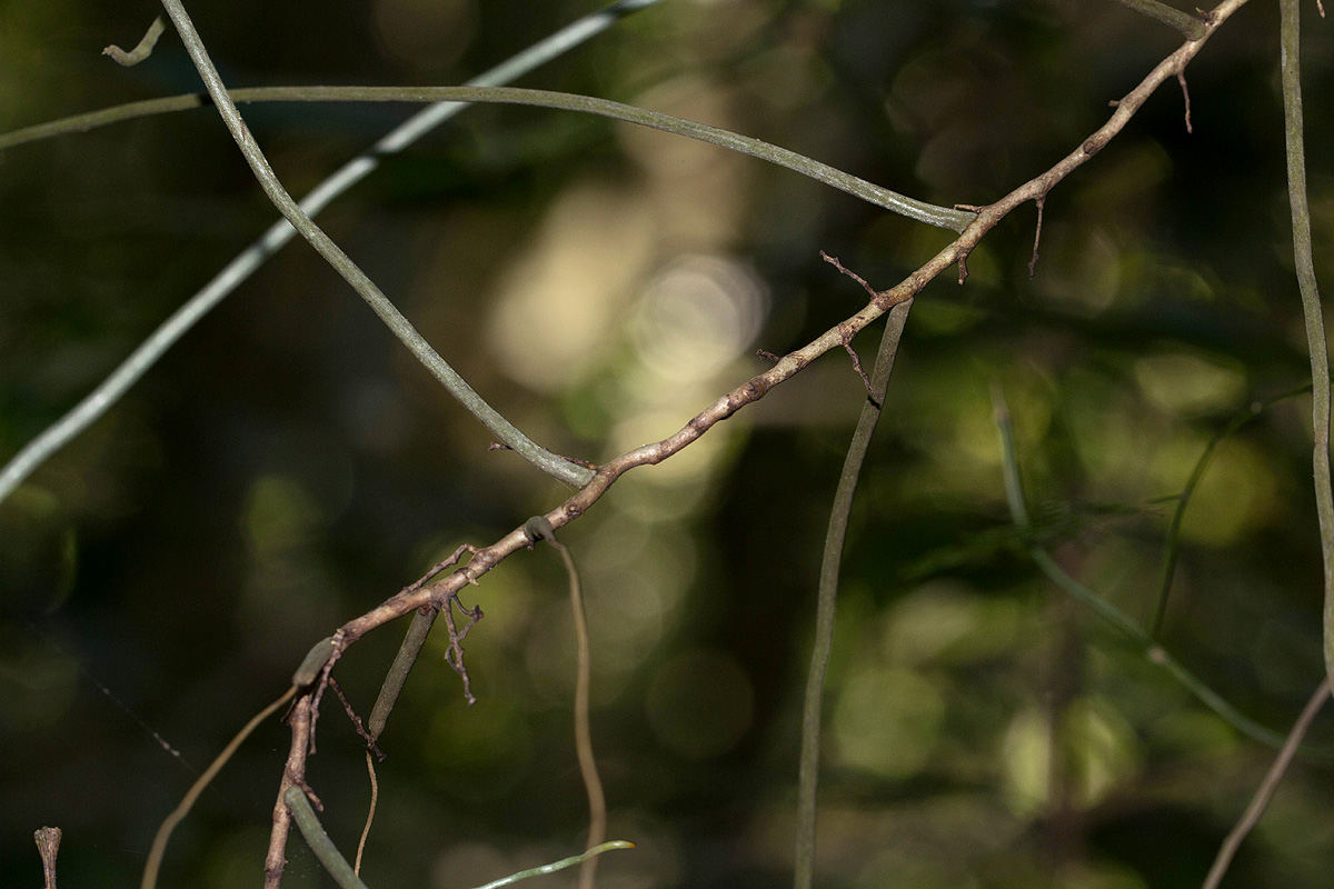 Solenangis aphylla