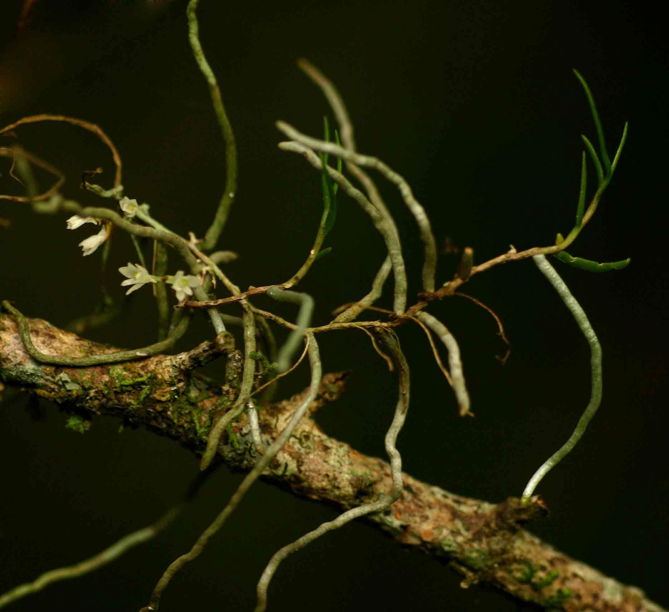 Solenangis conica