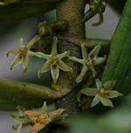 Tridactyle anthomaniaca