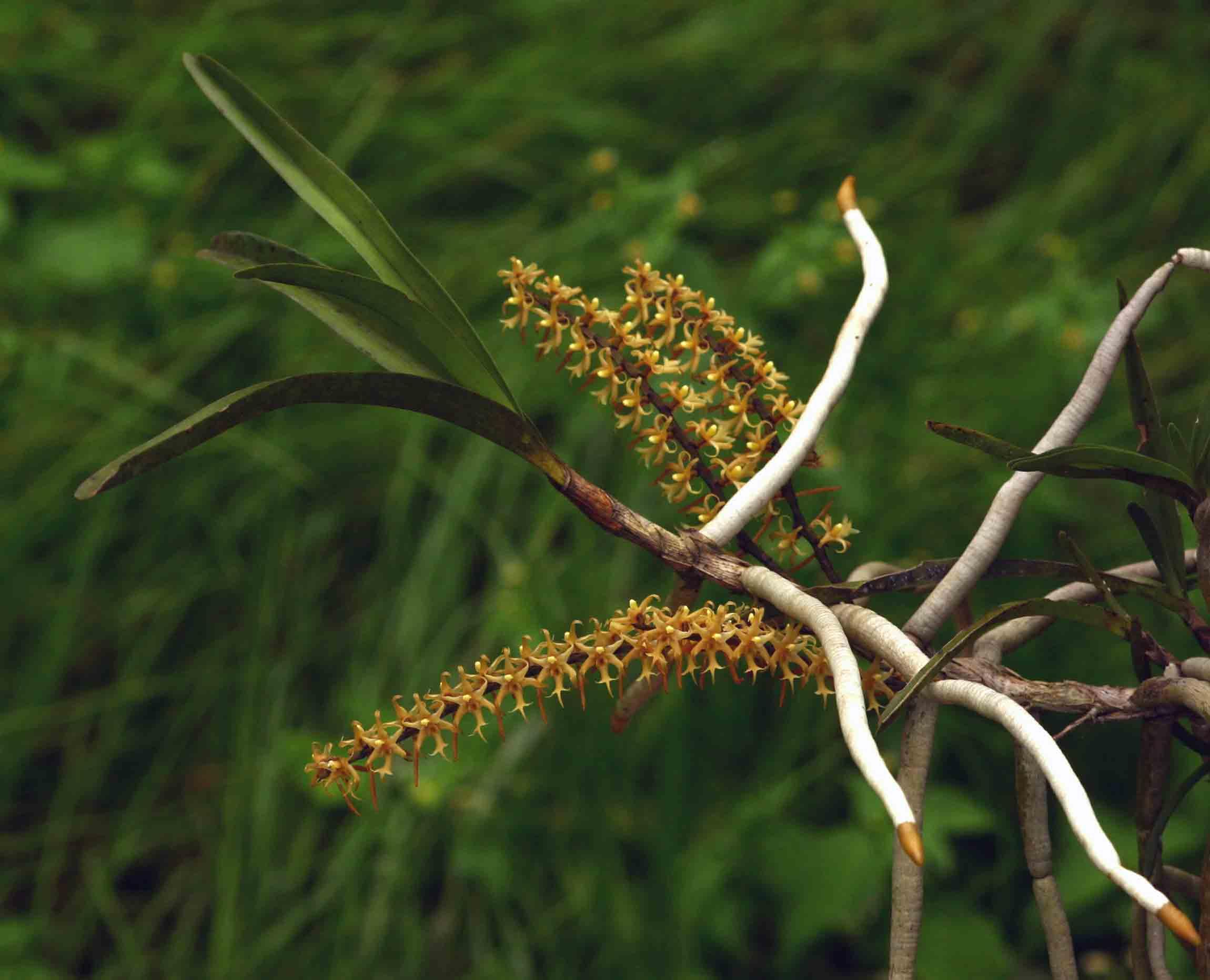 Tridactyle tricuspis