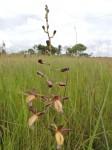 Eulophia angolensis
