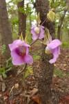 Eulophia cucullata