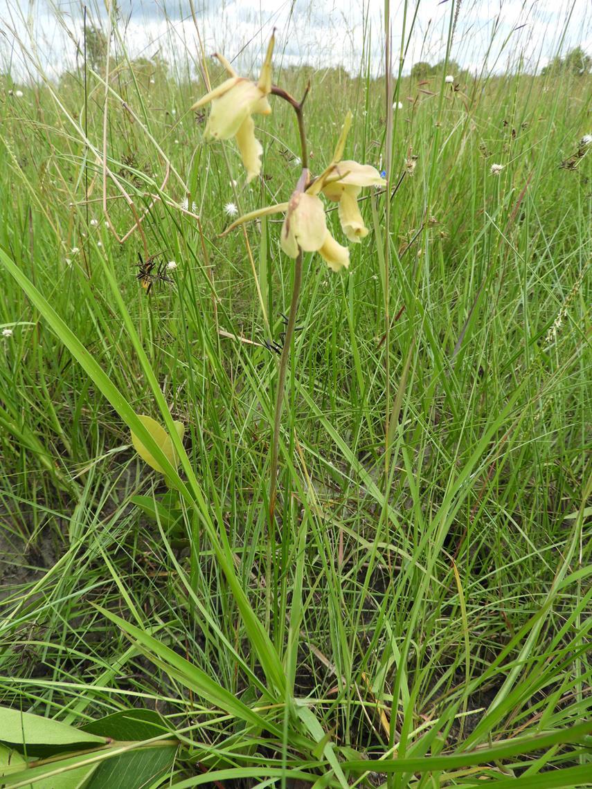 Eulophia flavopurpurea