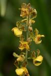 Eulophia fridericii