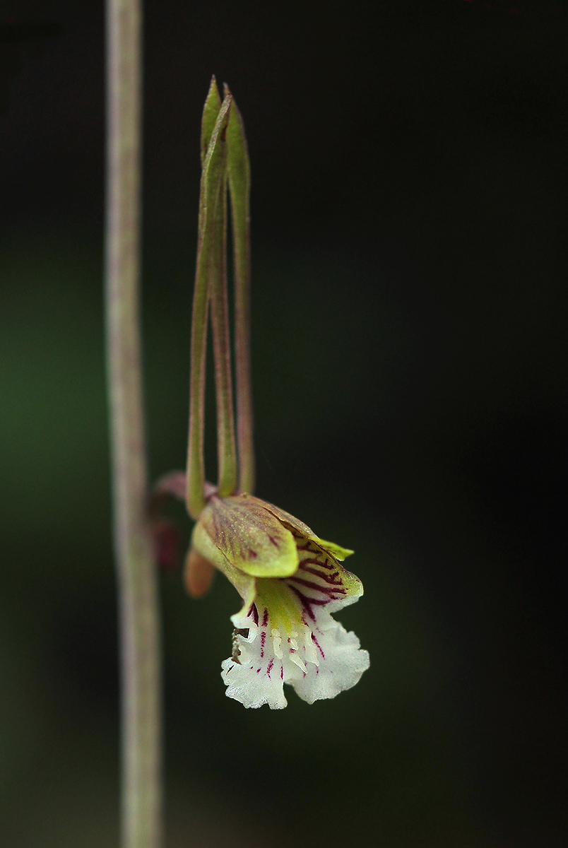Eulophia longisepala