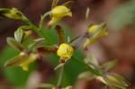 Eulophia monticola