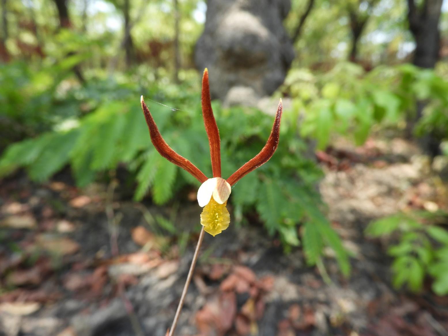 Eulophia mumbwaensis