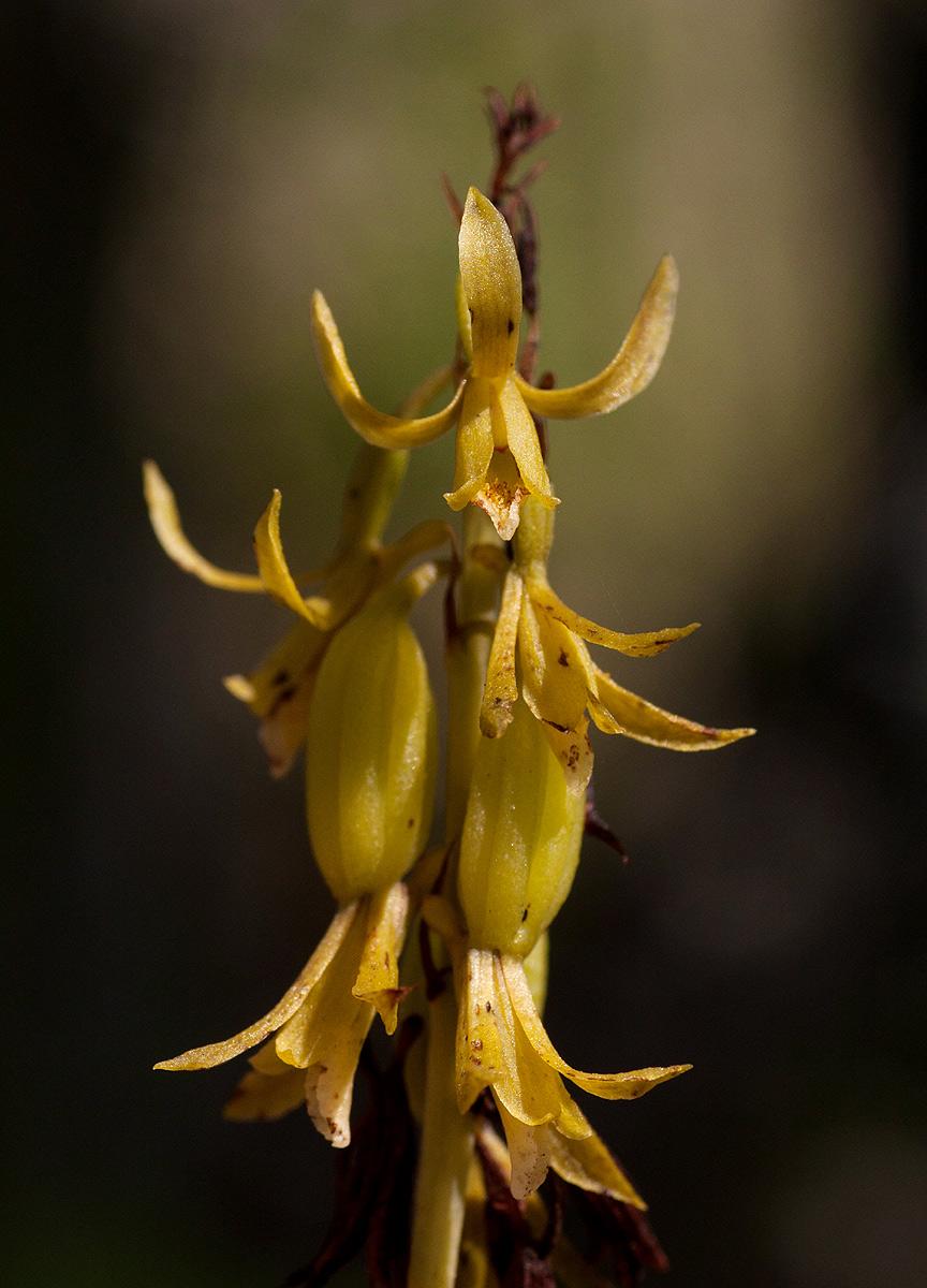 Eulophia norlindhii