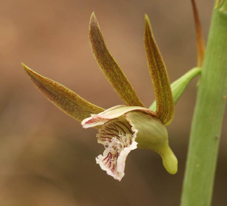 Eulophia nyasae