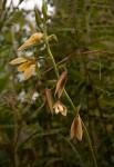 Eulophia ovalis var. bainesii