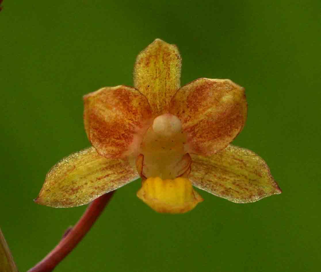 Eulophia parviflora