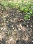 Eulophia penduliflora