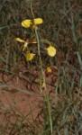 Eulophia schweinfurthii