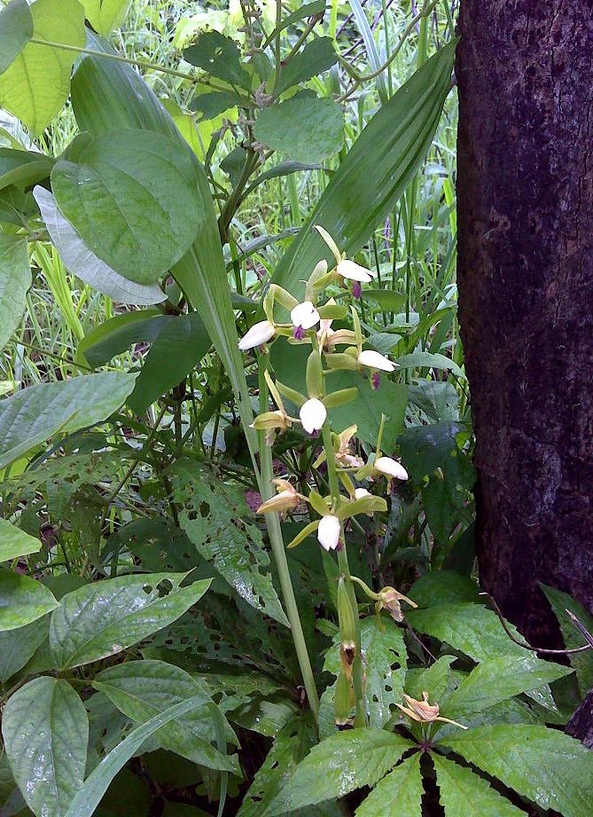 Eulophia stachyodes